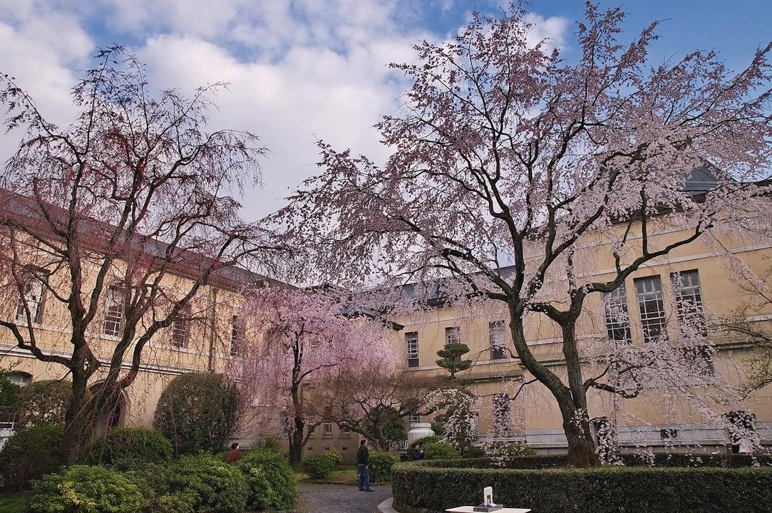京都府庁の桜
