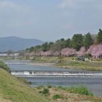 桜の季節に歩きたい!京都 府立植物園から上賀茂神社へ