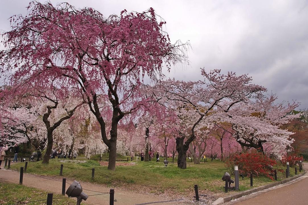 府立植物園の桜