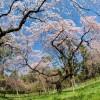 京都の桜を楽しむならここ!おすすめスポット10選!